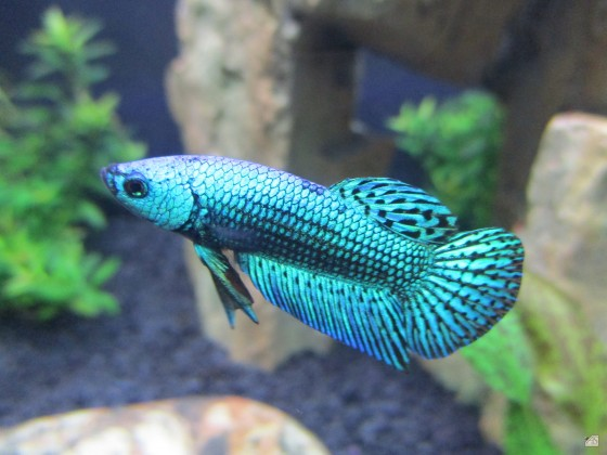 Betta Splendens Alien green